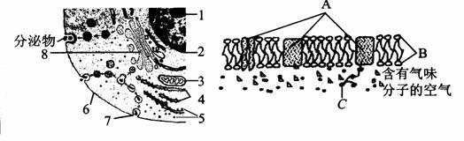 下图A与图B分别表示两类细胞的亚显微结构模式图。  (1)表示植物细胞的是________图,判断的主要依据是有能够进行光合作用的细胞器[ ]________和以纤维素为主要成分构成的[ ]________。 (2)活细胞中的[ ]________能够被健那绿染液染成蓝绿色。 (3)核仁与某种RNA的形成和细胞器[ ]________的形成有关。 (4)细胞中的1、4、5、8、9、14等在结构和功能上是紧密联系的统一整体,称为________。