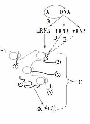 资料2:右图表示真核细胞中遗传信息的传递过程