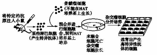 研究表明,HER2/neu是一种原癌基因,它表达的H蛋白是一种跨膜蛋白,在多种恶性肿瘤特别是乳腺癌细胞中过量表达.抗H蛋白单克隆抗体能抑制过量表达H蛋白的乳腺癌细胞的生长,目前已成为有效的生物治疗手段.图1表示H蛋白的结构,胞外区具有抗原特异性,图2示抗H蛋白单克隆抗体的制作过程,图中的+表示含有、表示没有,Ig表示抗体.  (1)选择H蛋白作为单克隆抗体的作用靶点,是因为H蛋白在成年个体的正常组织中