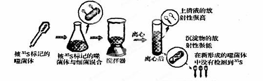 下面是噬菌体侵染细菌实验的部分步骤示意图