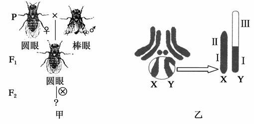 (2)若f 2中圆眼:棒眼≈3:1,且雌雄果蝇中均有圆眼,棒眼,则控制圆眼