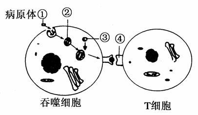下图是某病原体侵入人体细胞后