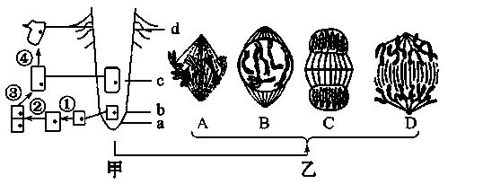 d表示某植物根尖的不同区域