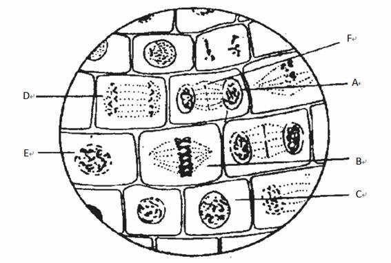 doc 用显微镜观察洋葱根尖细胞有丝分裂,绘出如下示意图,据图答题(f为