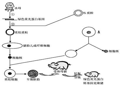 下图为绿色荧光蛋白转基因克隆猪的培育过程示意