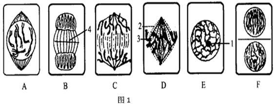 下图1表示某植物细胞有丝分裂一个细胞周期各期图像