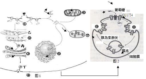 图2表示胰岛素对肌细胞吸收葡萄糖的调节,细胞膜上有运输葡萄糖的载体