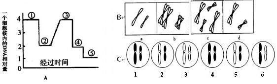 下图a表示某高等动物精巢内所看到的体细胞分裂及其