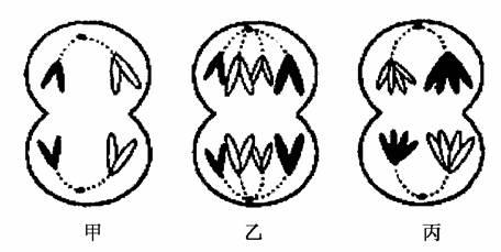减数分列过程图手绘图