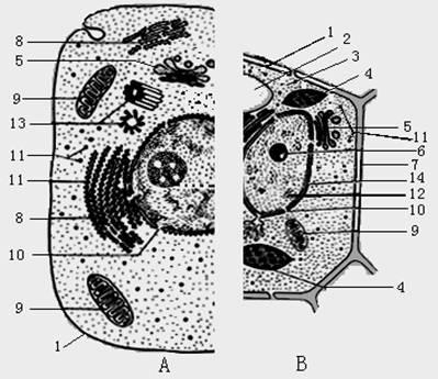植物细胞二合一亚显微结构模式图