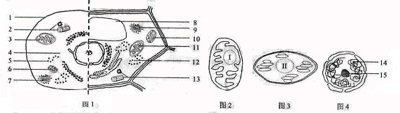 本题主要考查细胞结构相关知识。 从图1中看出左侧为高等动物细胞模式图,右侧为高等植物细胞模式图,动物细胞中不应该有3叶绿体,高等植物细胞不应该有13中心体;植物细胞中水溶性色素存在于图1[8]液泡中;图4结构15应该是核仁,5(或12)核糖体的形成与15核仁有关。 从图2、3、4三个图形特征上看,图2有双层膜,内膜向内折叠成嵴,推测其为线粒体;图3有双层膜,其内部有许多个由类囊体堆叠而成的基粒,推测其为叶绿体;图4有双层膜,膜上有核孔,推测其为细胞核,三者在结构上均是由两层膜包被。线粒体是主要进行有氧呼