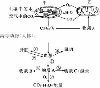下图为植物和高等动物(如人体)新陈代谢的部分过程图